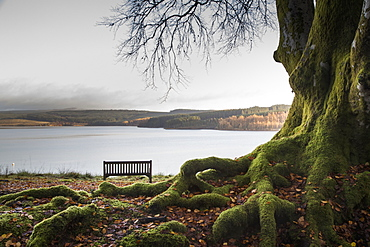 Moss Covered Tree Trunk And Roots At The Edge Of A Tranquil Lake With A Bench, Kielder, Northumberland, England
