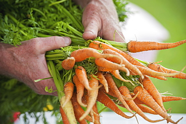 Man Holding Out A Bundle Of Carrots (Carota), Palmer, Alaska, United States Of America