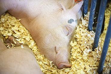Sleeping Pig, Fairbanks, Alaska, United States Of America