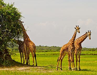 Masai Giraffes, Akagara Game Park, Rwanda
