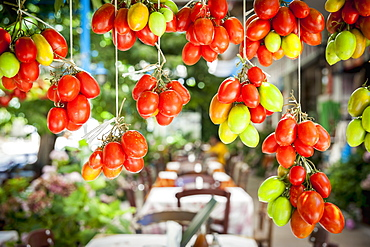 Ripe And Unripe Tomatoes Hanging, Lasithi Plateau, Crete, Greece
