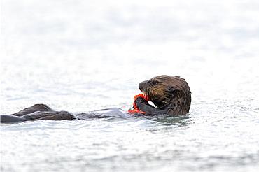 Sea Otter (Enhydra Lutris) Eating Salmon Eggs, Valdez, Alaska, United States Of America
