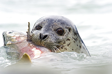 Seal With Silver Salmon In It's Mouth, Valdez, Alaska, United States Of America