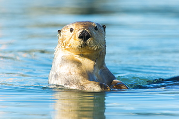 Sea Otter (Enhydra Lutris) Looking Into The Camera, Cordova, Alaska, United States Of America