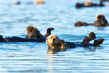 Sea Otters (Enhydra Lutris) Just Hanging Around, Cordova, Alaska, United States Of America