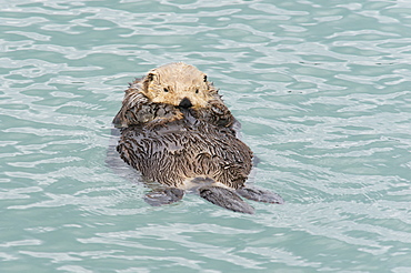 Sea Otter (Enhydra Lutris) Relaxing In The Water, Cordova, Alaska, United States Of America