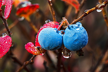 Wet Blueberries On A Bush, Denali, Alaska, United States Of America