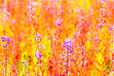 Fireweed, Kennicott, Alaska, United States Of America