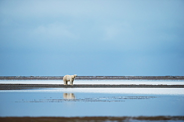 Polar Bear (Ursus Maritimus) Standing At The Water's Edge With Reflection In The Water, Kaktovik, Alaska, United States Of America