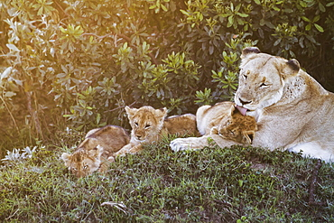 East African Lioness (Panthera Leo Nubica) And Her Cubs At Dusk, Mara Naboisho Conservancy, Kenya