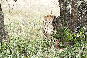 Female Cheetah (Acinonyx Jubatus) Rubs Against Tree Trunk While Young Cub Looks Up At Her From Below Near Ndutu, Ngorongoro Crater Conservation Area, Tanzania