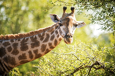 Giraffe (Giraffa Camelopardalis), Kruger National Park, South Africa