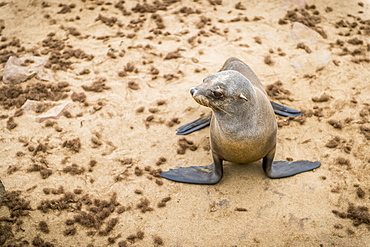 Cape Fur Seal (Pinnipedia) On The Seal Reserve Of The Skeleton Coast, Cape Cross, Namibia