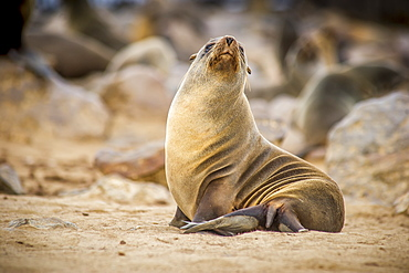 Portrait Of A Cape Fur Seal (Pinnipedia) Amidst The Thousands Of Seals In The Cape Cross Seal Reserve Along The Skeleton Coast, Cape Cross, Namibia