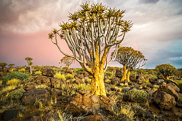 Quiver Tree (Aloe Dichotoma) Forest In The Playground Of The Giants, Keetmanshoop, Namibia