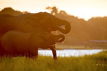African Elephants (Loxodonta), Chobe National Park, Kasane, Botswana