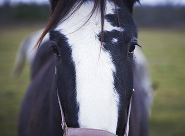 Clydesdale, The Mane Intent Equestrian Centre, Keane, Ontario, Canada