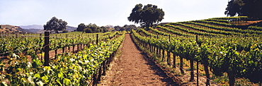 A Vineyard On A Rolling Hillside In Early Summer With Live Oak Trees And Mountains Beyond, Santa Ynez Valley, Buellton, California, United States Of America
