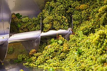 Process Of Grapes Being Made Into Wine, Stellenbosch, Gautang, South Africa