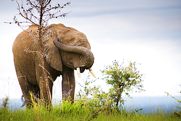 An Elephant With Trunk Twisted Over It's Face To Cover It's Eyes And Plug It's Ears, Murchison Falls National Park, Uganda - 1116-44182