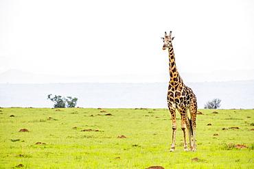 Giraffe, Murchison Falls National Park, Uganda