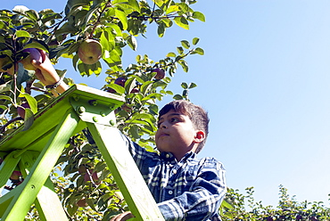 Young Boy Picking Apples In An Apple Orchard, Quebec, Canada