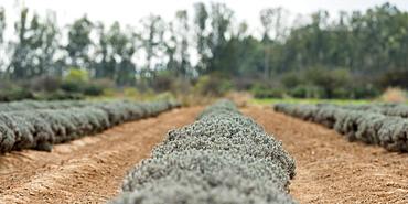 Row Of Crop Plants, Guanajuato, Mexico