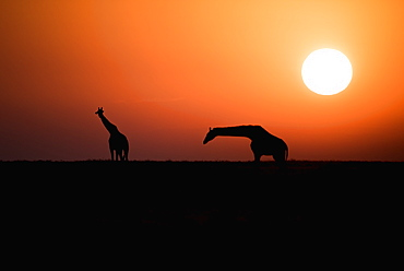 Two Maasai Giraffe (Giraffa Camelopardalis) Silhouetted Against The Rising Sun, Ngorongoro Crater Conservation Area, Tanzania