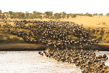 Large Group Of Wildebeest (Connochaetes Taurinus) Surge Across The Flooded Mara River In Serengeti National Park, Tanzania
