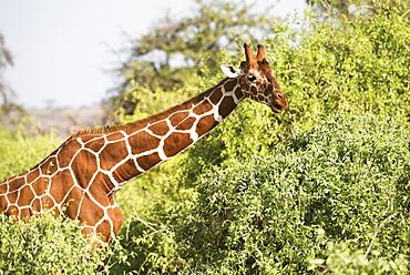 Close Up Of Head And Shoulders Of A Reticulated Giraffe (Giraffa Camelopardalis), Samburu National Reserve, Kenya