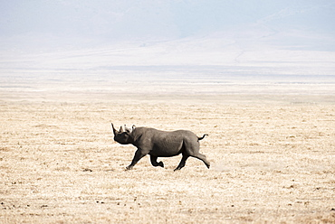 Black Rhinoceros (Diceros Bicornis) Running Across Dry, Dusty Savannah, Ngorongoro Crater, Tanzania