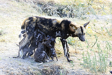 Wild Dog (Lycaon Pictus) Nursing Puppies, Ngorongoro Crater Conservation Area, Tanzania
