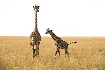 Maasai Giraffe (Giraffa Camelopardalis) With Calf In Dry Season Grasslands Of Serengeti National Park, Tanzania