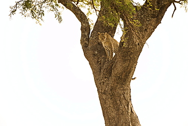 Female Leopard (Panthera Pardus) Stares From Tree, Serengeti National Park, Tanzania