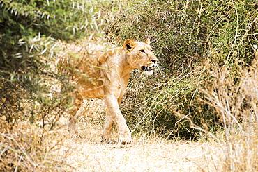 Lioness (Panthera Leo) Stalking Prey, Samburu National Reserve, Kenya