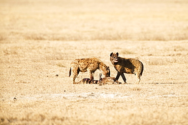 Two Spotted Hyenas (Crocuta Crocuta) Feeding On Carcass Of Another Spotted Hyena, Ngorongoro Crater, Tanzania
