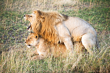 Mating Lions (Panthera Leo), Serengeti National Park, Tanzania