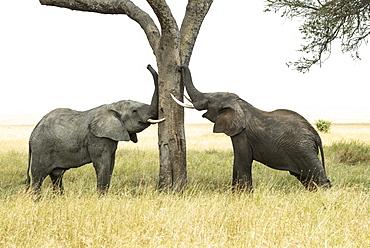 Young Bull African Elephants (Loxodonta Africana) Rub Trunks And Tusks Against Tree, Serengeti National Park, Tanzania