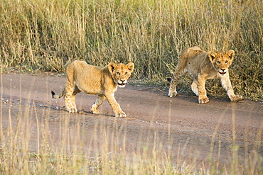 Two Small Lion (Panthera Leo) Cubs Walking Down Dirt Road, Serengeti National Park, Tanzania