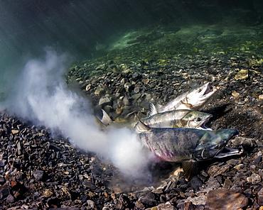 Chum Salmon (Oncorhynchus Keta) Spawning, Underwater View In An Alaskan Stream During Summer.