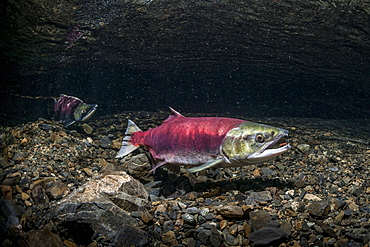 A Female Sockeye Salmon (Oncorhynchus Nerka) Uses Her Anal Fin To Probe Her Redd While A Jack Is Positioned Downstream. Underwater View In An Alaskan Stream During The Summer.