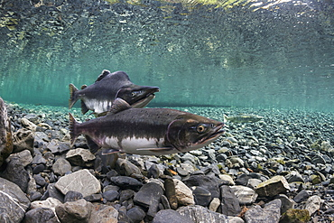 Pink Salmon (Oncorhynchus Gorbuscha) Probes Her Redd While Her Alpha Male Guards In An Alaska Stream During Summer.
