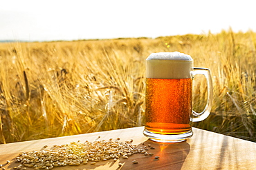 Frothy Beer Mug In A Ripe Golden Barley Field On A Wooden Board With Grains Of Barley At Sunset, Alberta, Canada