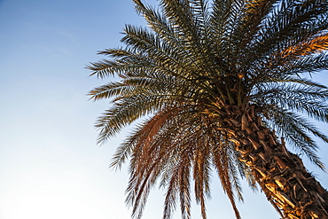 Low Angle View Of A Palm Tree Against A Blue Sky, Migdal, Israel