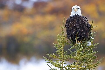 Bald Eagle (Haliaeetus Leucocephalus) Sitting On A Tree Along The Dempster Highway, Yukon, Canada
