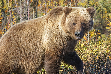 Grizzly Bear (Ursus Arctos) In Autumn Foliage Along The Dempster Highway, Yukon, Canada