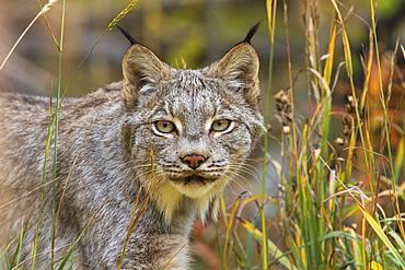 Canadian Lynx (Lynx Canadensis) Walking Through The Underbrush, Yukon, Canada