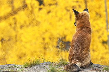 Red Fox (Vulpes Vulpes) Looking Out Over The Autumn Coloured Foliage, Yukon, Canada