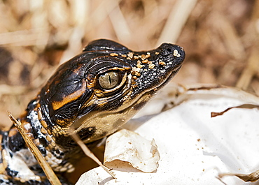 Close Up Of Baby Alligator (Alligator Mississippiensis), Florida, United States Of America