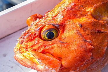 A Orange Rockfish ((Sebastidae) On A Boat After Being Fished Out Of Prince William Sound, Whittier, Alaska, United States Of America